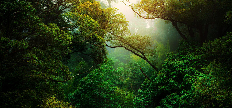 Green Rainforest Trees With Dark Green Trees And Sun Shining In The Background