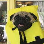 an image of a cute pug puppy wearing a yellow life jacket